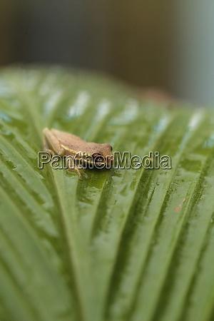 baby pine woods tree frog dryphophytes