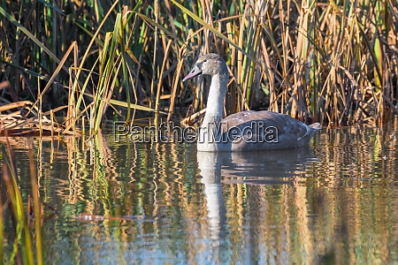 young mute swan morning at the