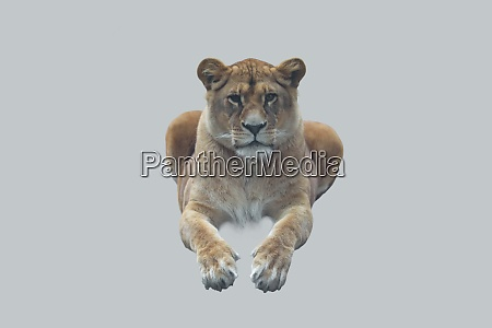 young lioness isolated on gray background