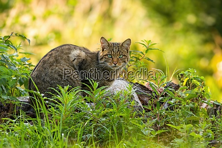curious european wild cat hiding in