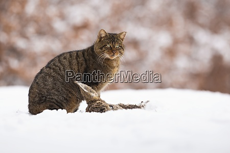 european wildcat sitting on meadow in