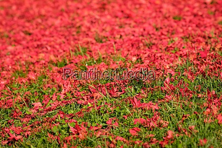 red maple leaves on green meadow