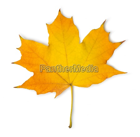 orange maple leaf