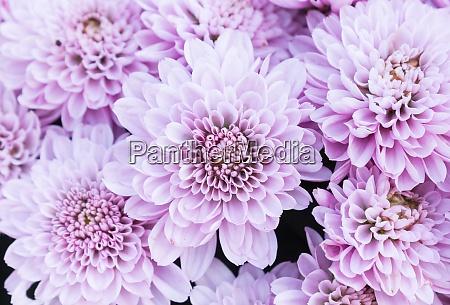 light purple or violet mum flowers