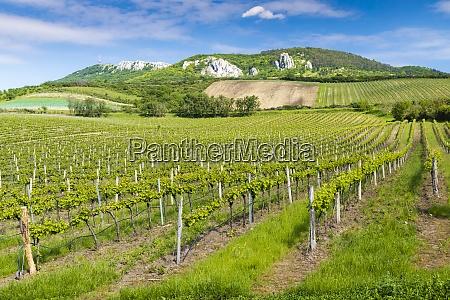 vineyards palava moravia region czech republic
