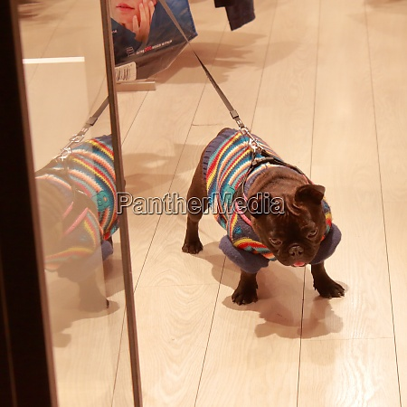 funny black bulldog with colored rows