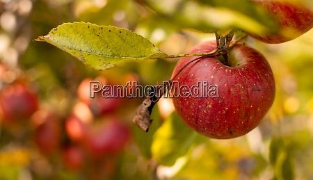 fresh red apple fruits