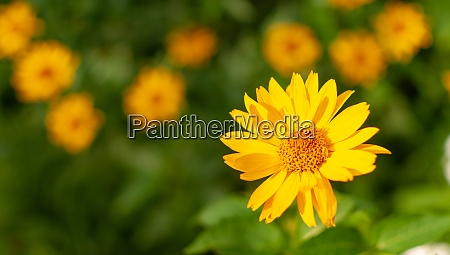 yellow blooming coneflower