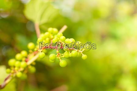 fresh grape vine fruits
