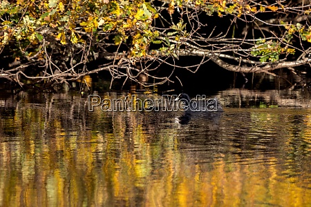 coot swimming in golden reflections in