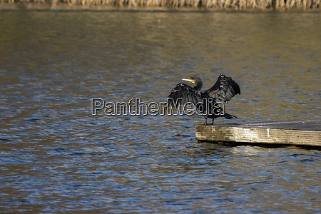 cormorant with open wings at cripplegate