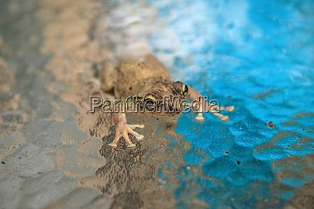 pinewoods treefrog hyla femoralis