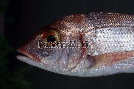 common sea bream fish