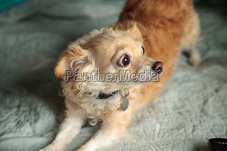 blond chihuahua dog with a funny