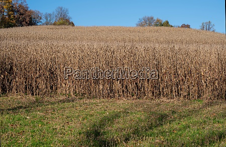 idyllic agricultural landscape ripe corn field