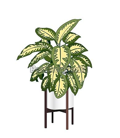 dieffenbachia a trendy houseplant modern flower