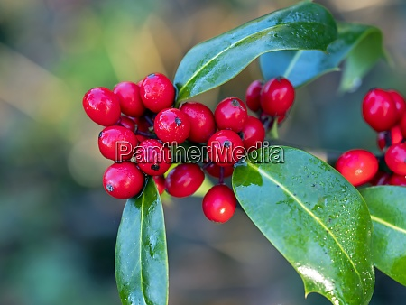 shiny red holly berries and green