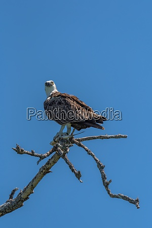 sitting osprey with a fish in