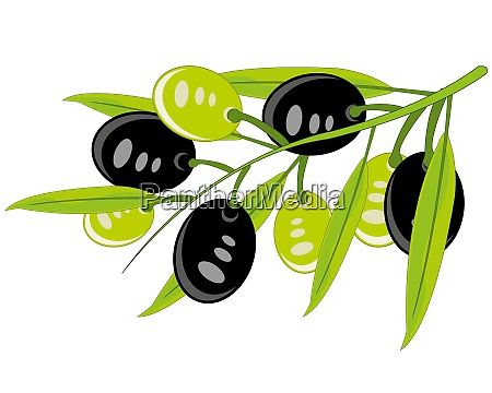 branch with olives on white background