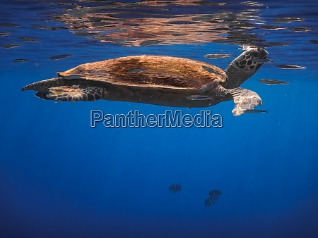 hawksbill turtle swims under the surface