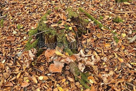 autumnal colored beech leaves with a