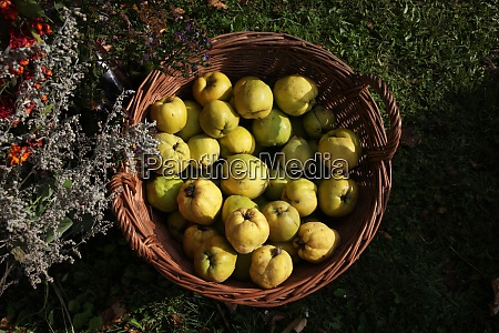 sweet quinces in basket