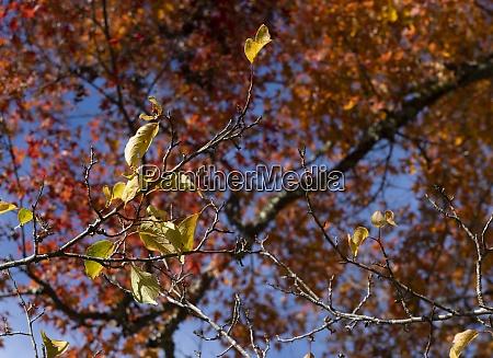 japanese autumn foliage on the entire