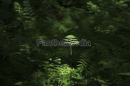 usa georgia fern in sunlight in