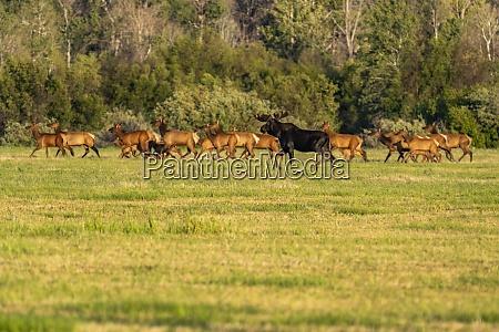 usa idaho sun valley herd of