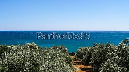 olive trees and the sea far
