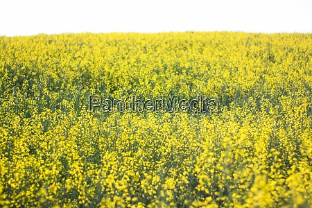 rapeseed field in romania clear
