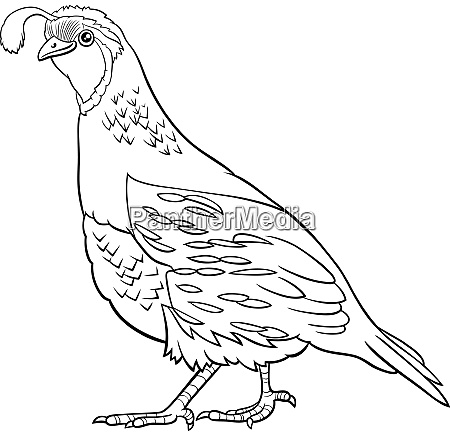 cartoon quail bird comic animal character