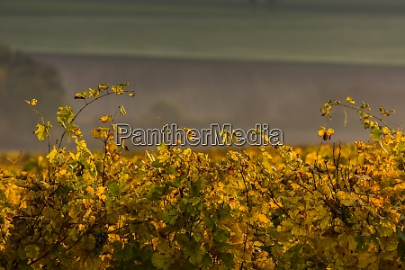 yellow green vineleaves in the autumn