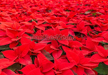 beautiful bright red poinsetta plants