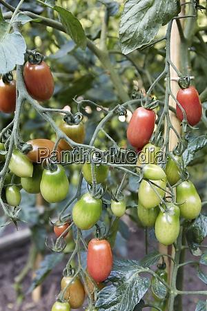 cherry tomatoes on branch in garden