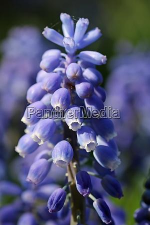 blue grape hyacinth flowers macro
