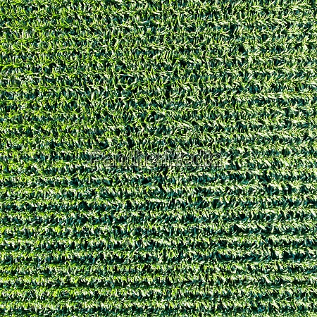 corn field grain background drone view