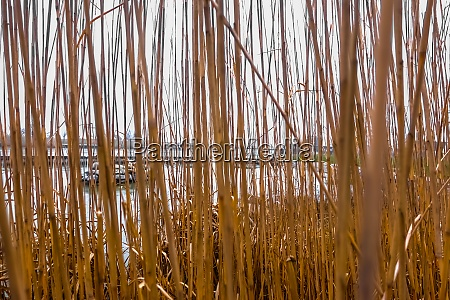 view through a reed at a