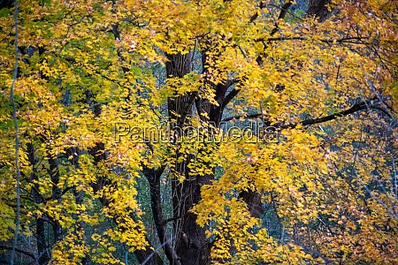 yellow autumn leaves rustle in the