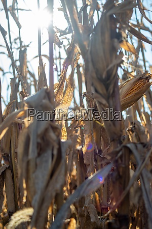 light beams through ripe cornstalks