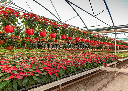 photo of poinsettia flowers