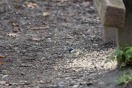 marsh tit poecile palustris eating seed