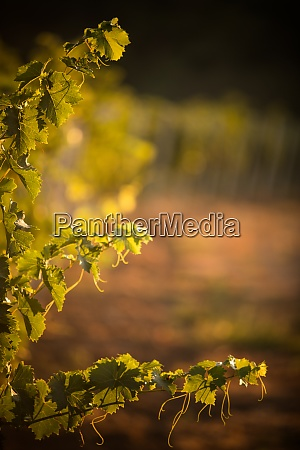 green vine at sunrise