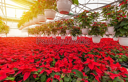flowering red poinsettia plants