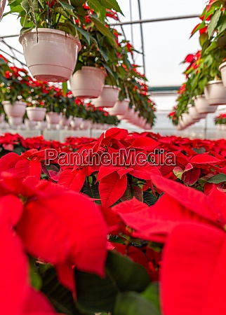 blooming poinsettia in the farm