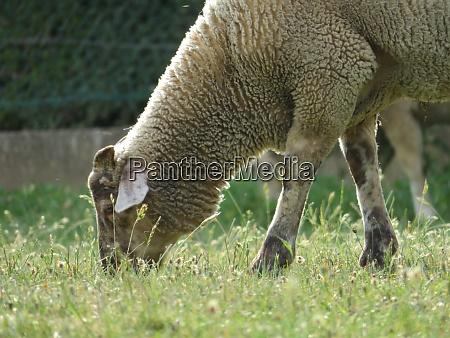 sheep domestic animal wool milk beautiful