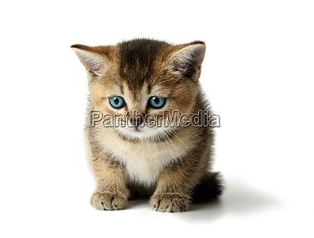 cute kitten scottish golden chinchilla breed