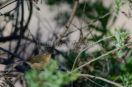 canary islands chiffchaff phylloscopus canariensis among