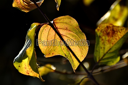 autumnal colored leaves in backlit