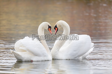 couple of swans forming heart on